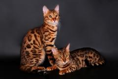 bengal_cat_cat_couple_leopard_color_96027_1920x1200