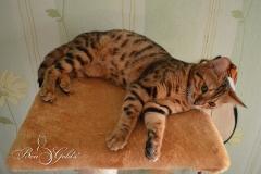 """Питомник бенгальских кошек """"BenGold's"""" КОЛЖ """"Зоохобби"""""""