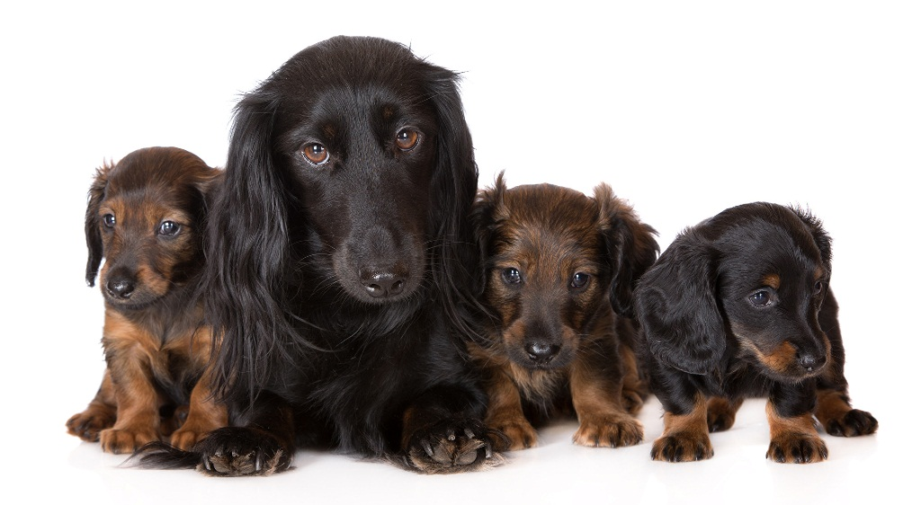 Dogs_Dachshund_Puppy_483338