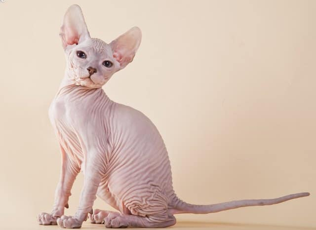donskoy-or-don-sphynx-min